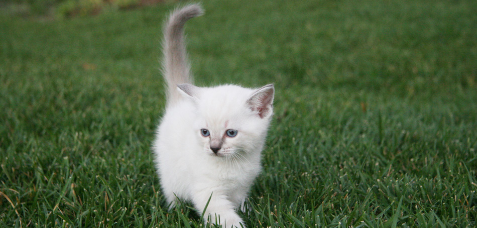 kitten playing in grass